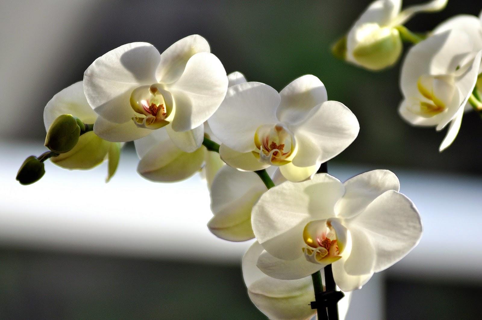 Evde bir orkide nasıl yetiştirilir: koşullar ve üreme yolları